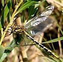 Sulphur-tipped Clubtail - Phanogomphus militaris
