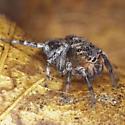 Jumping Spider IMG_4713 - Naphrys pulex