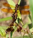 red dragonflies (mating) - Perithemis tenera