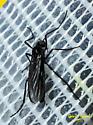 Fly - Penthetria heteroptera - male