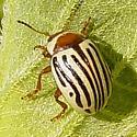 Sunflower Beetle - Zygogramma Exclamationis - Zygogramma exclamationis