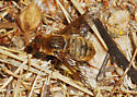Orange County Bee Fly Archives #296 - Anthracine?