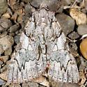Catocala verrilliana