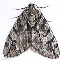 Ersephila grandipennis