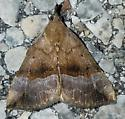 Hypena madefactalis (Gray-Edged Hypena) - Hypena madefactalis - female