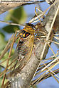 cicada-5 - Megatibicen pronotalis