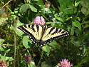 Tiger Swallowtail (Pterourus glaucus) ? - Papilio canadensis - female