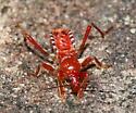 Bug - Rasahus hamatus