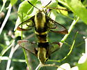 Snowberry Clearwings - Hodges#7855 - Hemaris diffinis - male - female