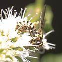 Yellow/Black Bee (Wasp?) - Stelis laticincta