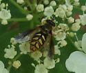 Syrphid Fly - Somula decora