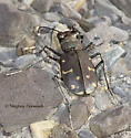 Twelve-Spotted Tiger Beetle with Twelve Spots - Cicindela duodecimguttata