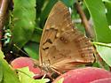 Tawny Emperor - Asterocampa clyton - female