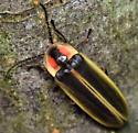firefly - Photinus - female
