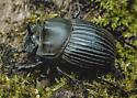 scarab - Copris