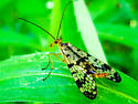 Scorpion Fly - Panorpa claripennis - female