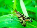 Scorpion Fly - Panorpa - female