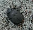 Beetle - Melanocanthon