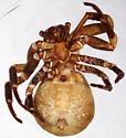 Xysticus apachecus - ventral - Xysticus apachecus - female