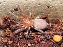 Dipluridae? - Euagrus chisoseus - female