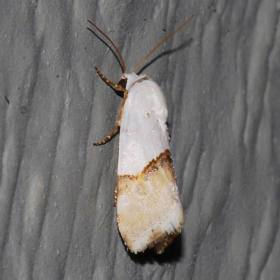 Arizona Bird Dropping Moth - Ponometia elegantula