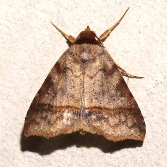 Hodges#8590.2 - Deinopa angitia