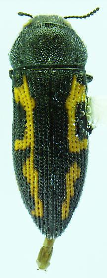 Acmaeodera conoidea - female