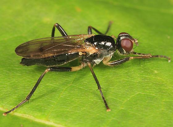 fly - Cordilura varipes