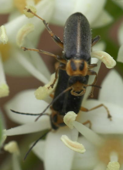 Black soldier beetle with two marks on the pronotum - Osphya varians