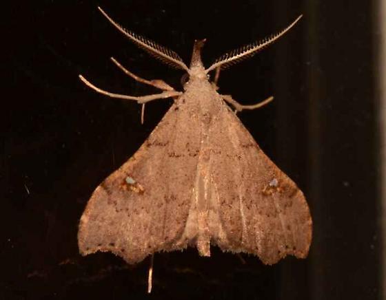 Moth - Redectis vitrea