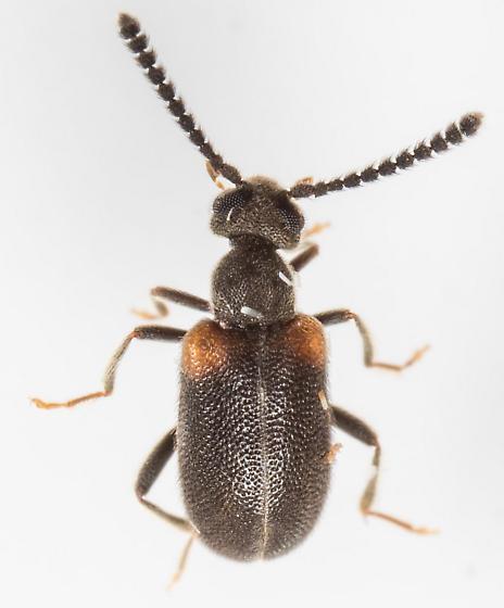 Beetle - Elonus gruberi