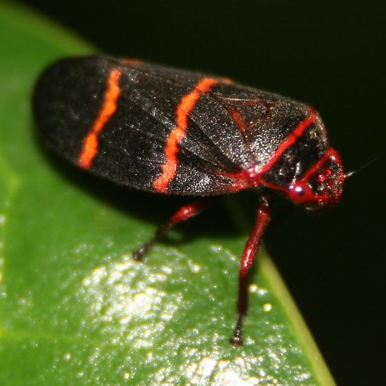 Two-lined Spittlebug - Right Lateral - Prosapia bicincta