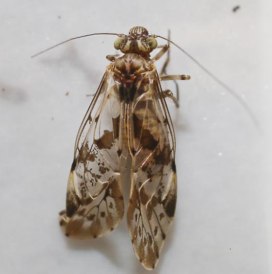Psocodea - Trichadenotecnum slossonae
