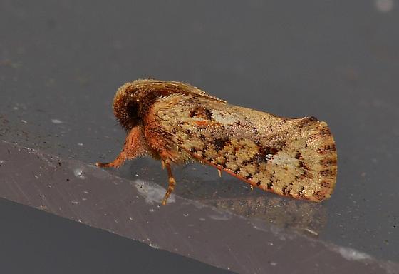 Possible Acrolophus sp. - Acrolophus walsinghami