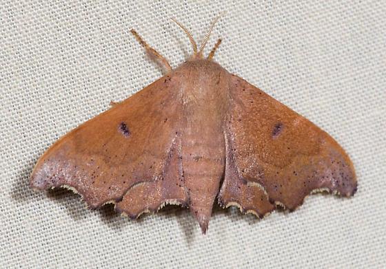 Moth from the gathering - Lacosoma chiridota - female