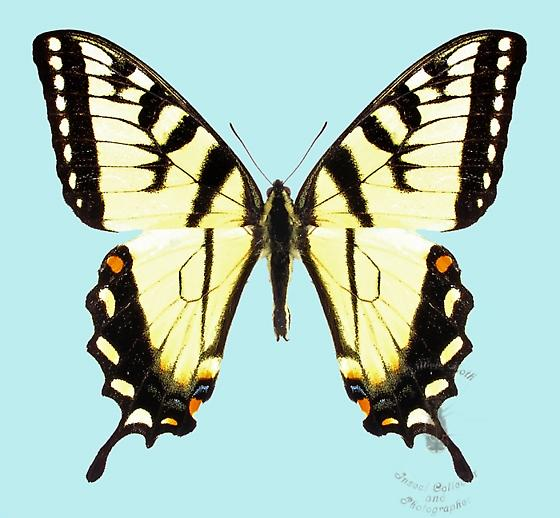 Tiger Swallowtail - Papilio appalachiensis - male