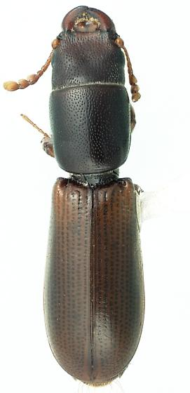 Corticotomus caviceps Fall - Corticotomus caviceps