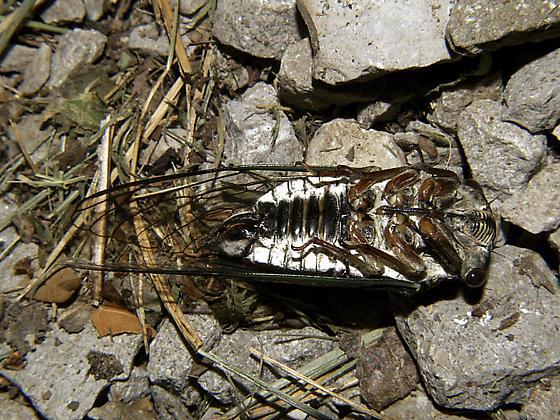 female lyric cicada-ventral view/Tibicen lyricen engelhardti - Neotibicen lyricen - female