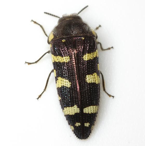 Acmaeodera macra Horn - Acmaeodera macra