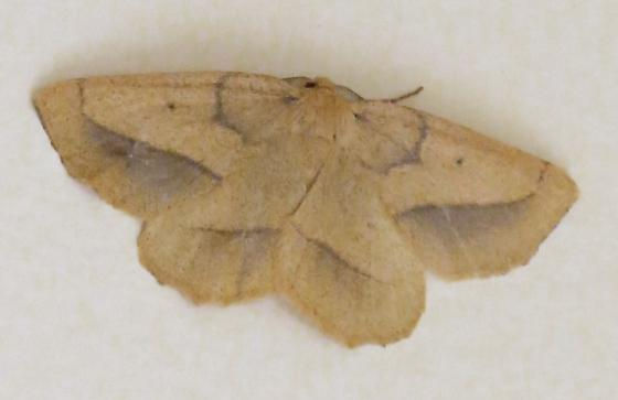 Euchlaena irraria  - Euchlaena irraria - male