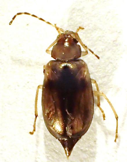 Chrysomelidae - Metrioidea varicornis