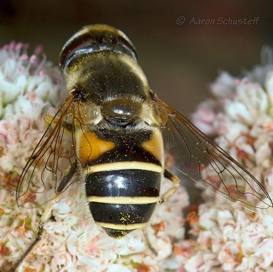 Naturalized Drone Fly  - Eristalis hirta - female