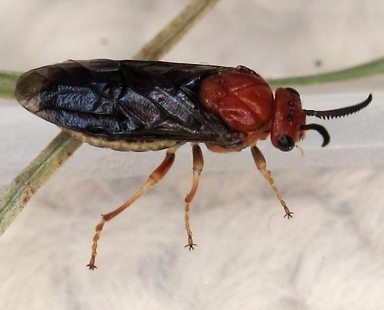 Neodiprion sp. - Neodiprion lecontei - female