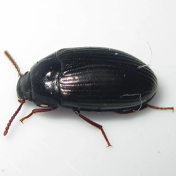 Platydema americanum - female