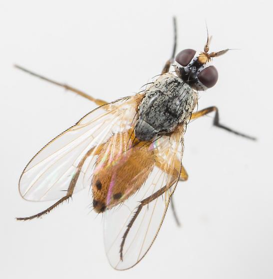 Fly - Atherigona reversura