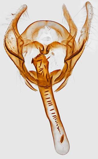 genitalia - Cochylichroa hoffmanana - male