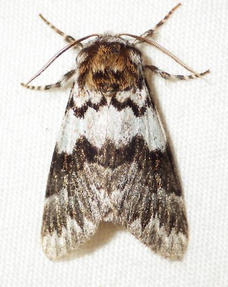 Panthea acronyctoides