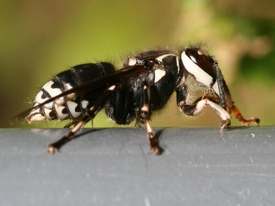 Bald-faced Hornet - Dolichovespula maculata - female