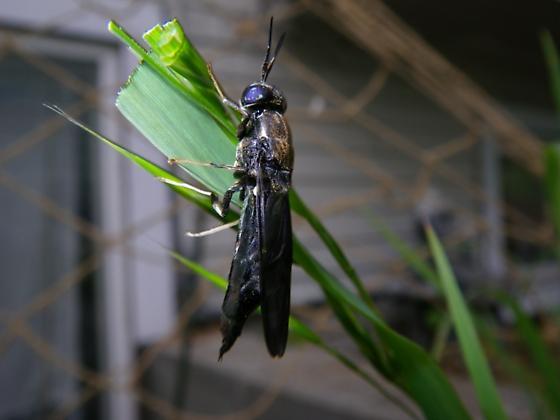 Black Soldier Fly - Hermetia illucens