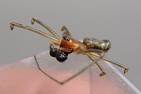 Sheetweb? - Neriene radiata - male